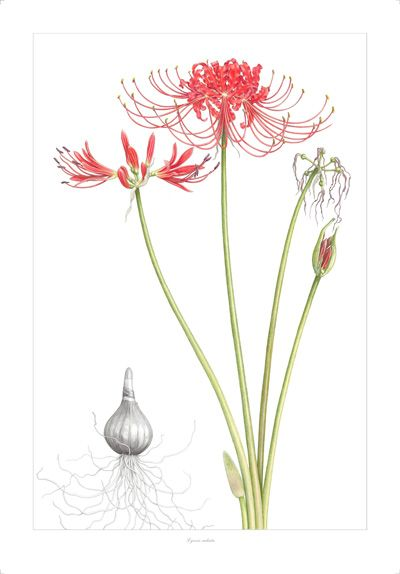 Lycoris radiata, or red spider lily, were said in Japan to ...