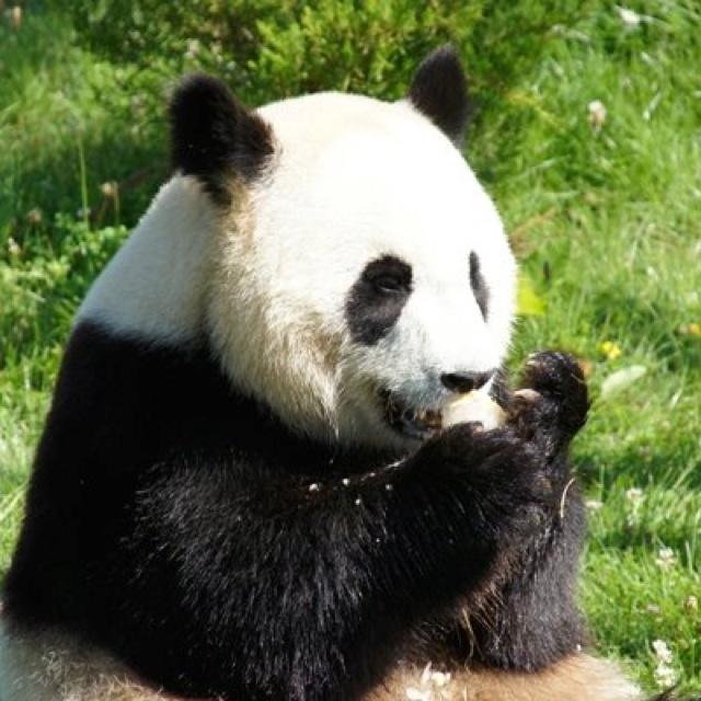Panda Beauval