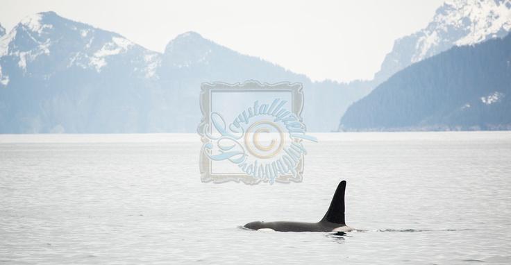 Killer Whale in Resurrection Bay Seward, Alaska