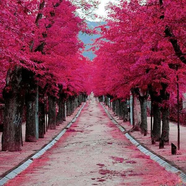 Pictures Images On Pinterest: شجر الكرز في اليابان ..