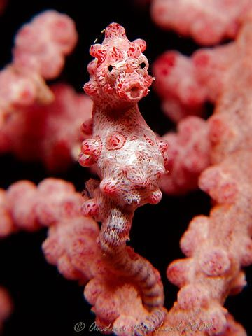 Pygmy Seahorse...Ocean Wonder, Blue Sea, Natureocean Life, Strange Things, Pygmy Seahores, Sea Animal, Pygmy Seahorses, Deep Blue, Nature Ocean Life