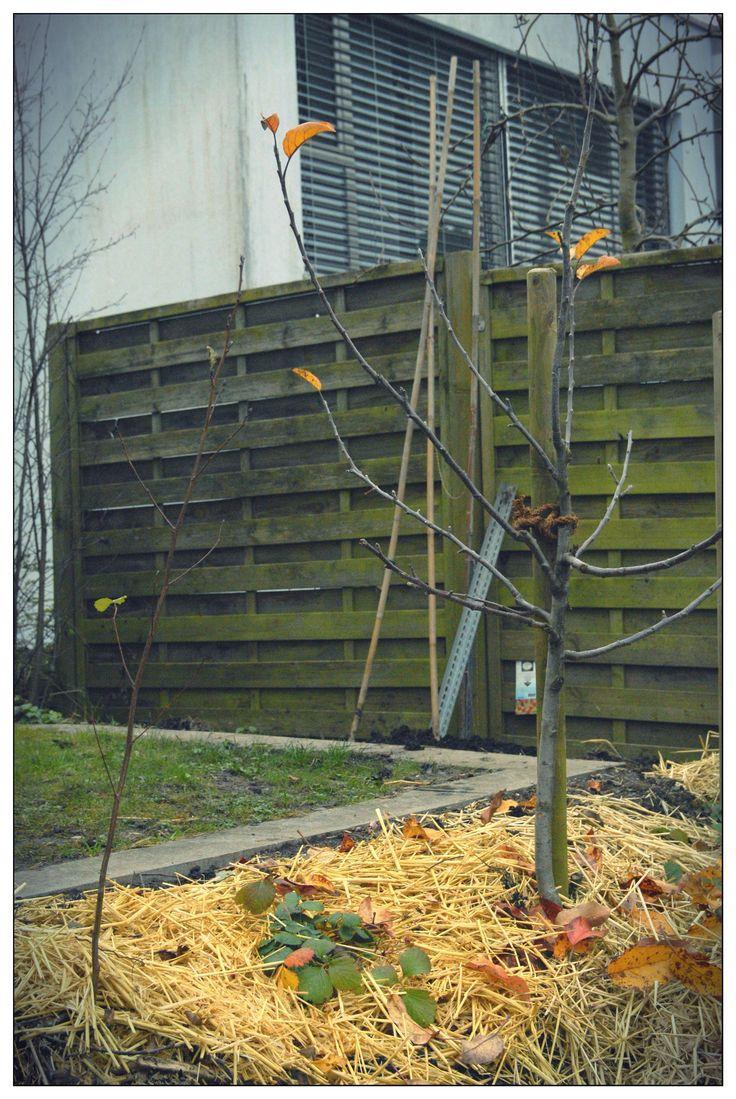 Der Goro Apfelbaum mit der Schwarzerle davor. Diese fixiert den Stickstoff im Boden und hilft mit, damit es wunderbare Äpfel gibt. Dazwischen eine Erdbeere mit Blüten im November!