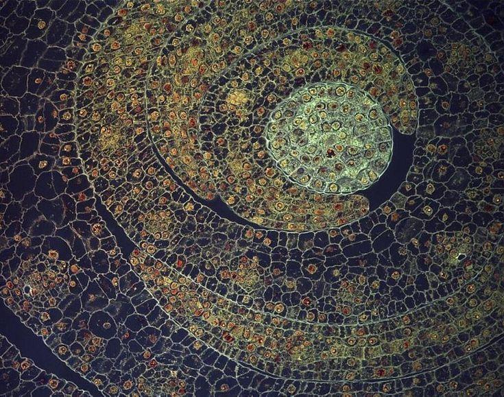 Fernán Federici, da Pontificia Universidade Católica do Chile e da Universidade de Cambridge - O interior de um aglomerado de folhas de uma jovem planta de milho revela diversos detalhes e estrutura organizada. Cada folha enrolada é feita de inúmeras pequenas céluals (os quadrados e retângulos verdes) e dentro de cada célula há um núcleo (círculo laranja) - a parte da célula que armazena a informação genética. A imagem tem cerca de 250 micrômetros (0,25 milímetro) de largura. Local…