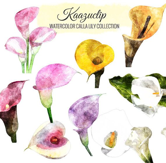 Watercolor Calla Lily Collection-10 pieces - is a collection of my Watercolor sets!  10 piece clipart set for personal and commercial use includes all colors seen, perfect for scrapbooking, greeting cards, digital scrapbooks, web graphics and many more uses!  What you get: • Graphics as shown • Sent as PNGs (transparent background) at high resolution • Watermarks will not be in supplied files  What you should know: • Please do not share these graphics with anyone else • Please do not claim…