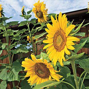 You'll always find a sunflower in my garden