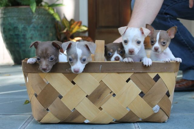 Toy rat terrier puppies - if anyone wants to get this for Jonathan and I's birthday we will take them ;) haha!