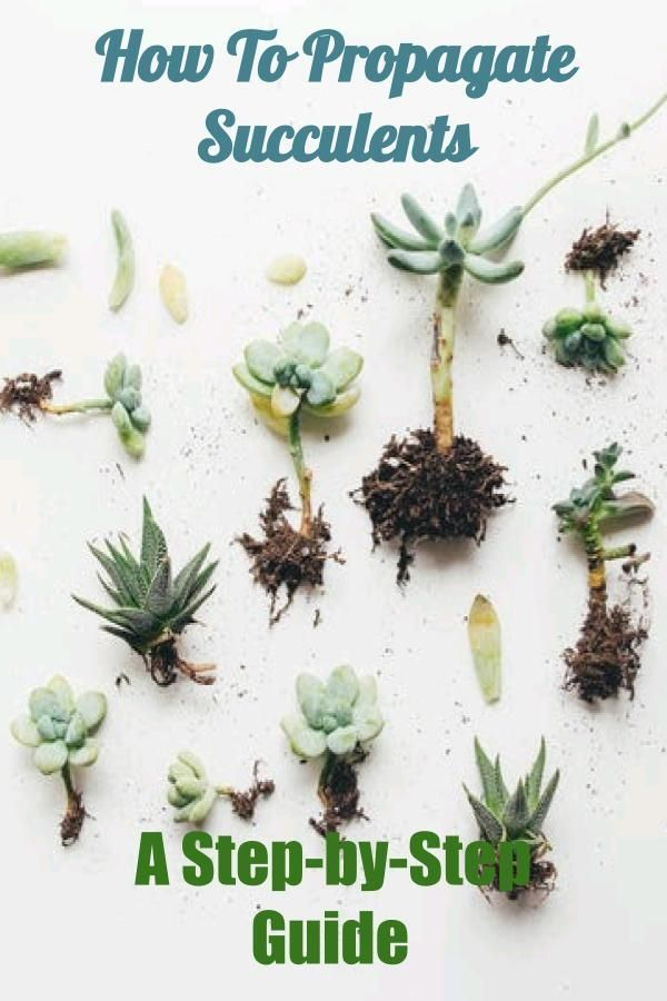 4 Easy Ways To Propagate Succulents A Step By Step Guide