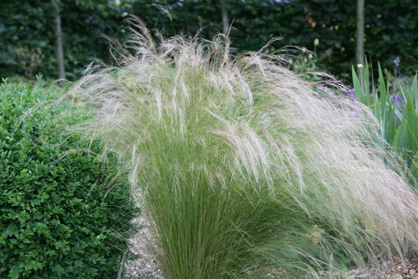 "Stipa tenuissima - Lovely, billowy architectural grass.  RHS site says stipa tenuissima can be evergreen or deciduous.  Look for evergreen variety to under-plant silver birch / dogwoods, or to edge north border for movement. Grows to 24"" (0.6m) x 11"" (0.3m) spread.  **Add another level of interest by planting a variety of allium (giant allium ?? / allium giganteum - blue puffballs) - to flower in June / July.  [North 'fire' border]"