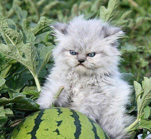 a furious kitten