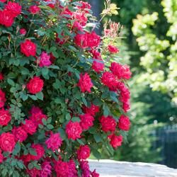 Reblooming, low maintenance Knock Out® Roses are the perfect give for mom on her special day! Look for the green pot at your local garden center! #PlantAStar