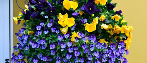 From September onwards, we produce traditional, moss-filled winter hanging baskets, both refills and ready made. These comprise winter flowering F1 Pansies and Violas and incorporate Osmocote slow-release fertiliser. These baskets flower throughout the winter and spring months – they can be taken down at the end of May and replaced with your Springwell summer basket.