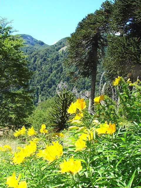 Glorious Amancay flowers in their natural setting in Chile (Alstroemeria) and a great bilingual post on words that refer to Chile that start with A. Read more.