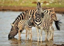 Zebry, Rodzinka, Woda