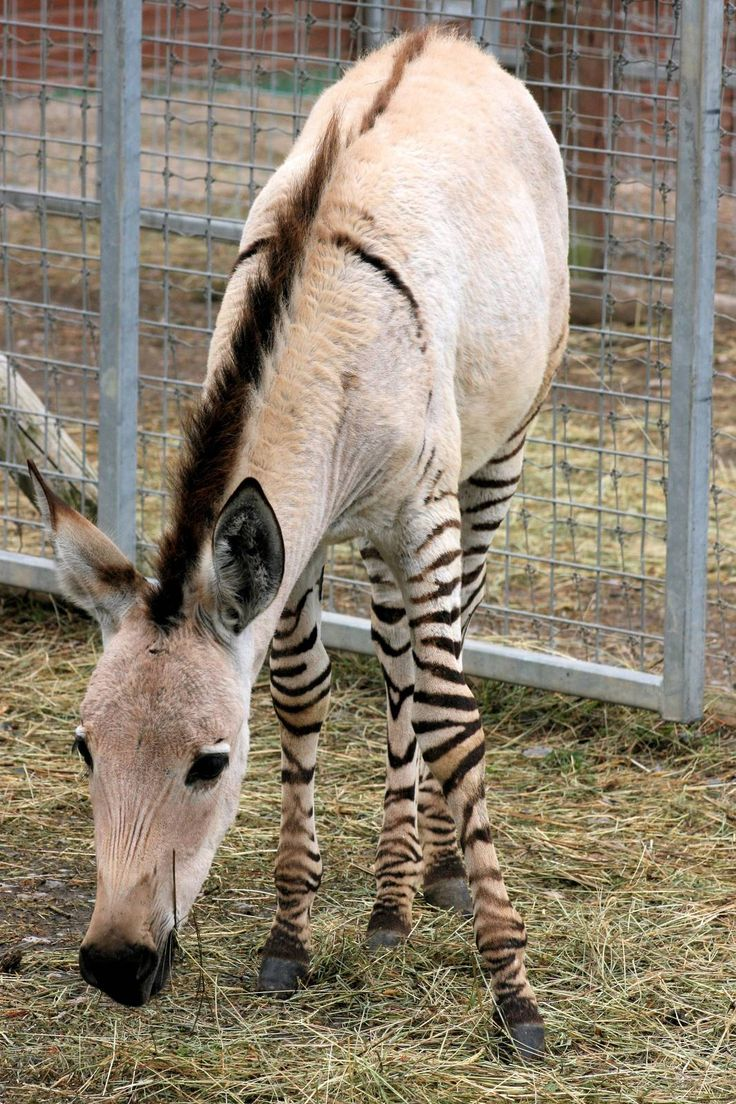 Somali wild ass x plains zebra (possibly Grant) Lives in a private wildlife collection