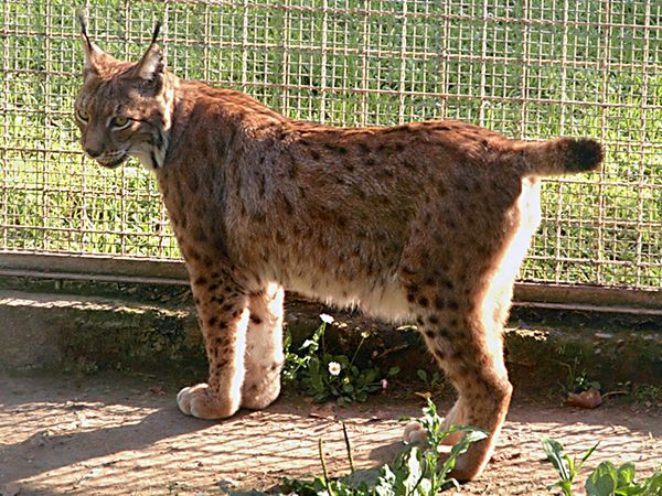 lynx forest jungle animal - photo #30