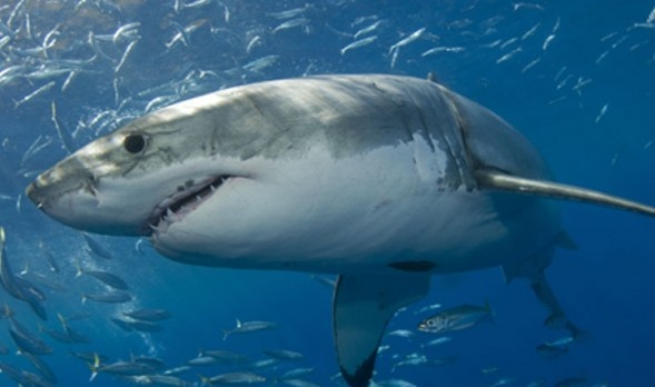 Shark Diving Guadalupe Island Tours