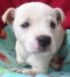 Kirk is an adoptable Jack Russell Terrier (Parson Russell Terrier) Dog in North Wales, PA. Hi I am Kirk I am an adorable male Chihuahua / Jack Russell mix in search of my forever home. I am a lil guy ...