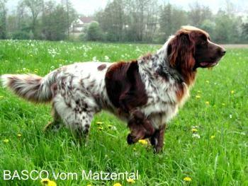 German Longhaired Pointer, Deutschlanghaar