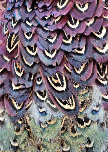 Colourful Pheasant Feathers