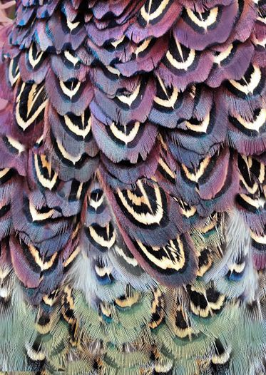 Close-up of a pheasant's amazing purple and green plumage. #PANDORAloves the unique details. #Feathers