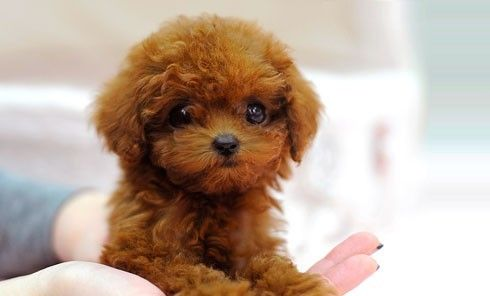 Miniature tea cup Poodles Puppies   TEACUP POODLE PUPPIES FOR ADOPTION. TEXT US VIA (801) 701-7198 - San ...