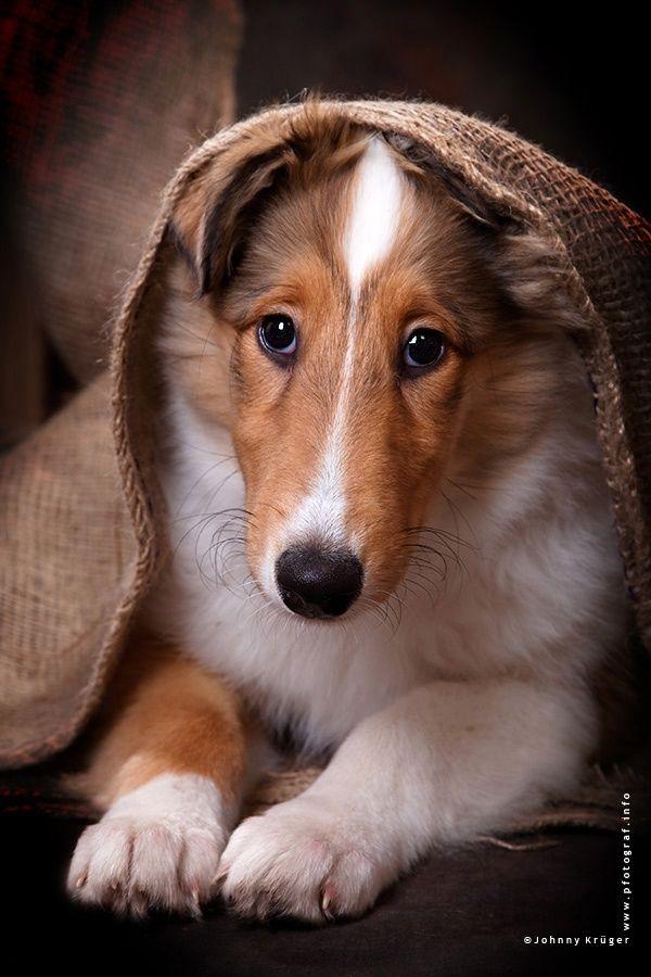 Collie puppy
