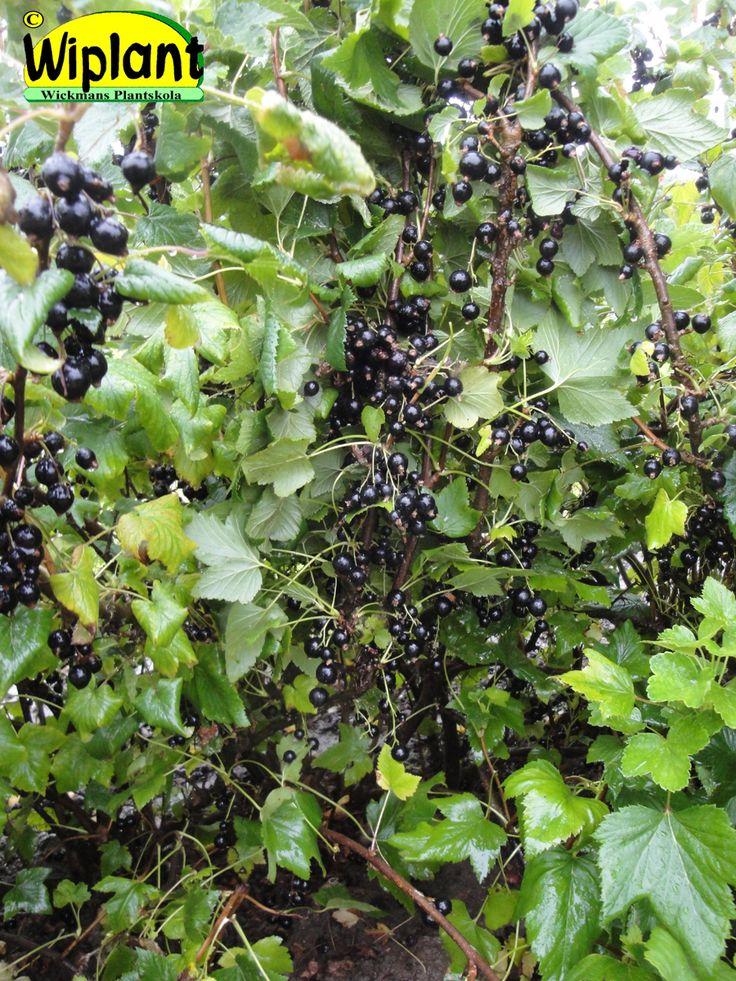Ribes nigrum 'Zusha', Svarta vinbär. Nyhet! Rysk sort, försöksodlats i Danmark.   Mycket rikbärande tidig sort. Låg syrahalt, högt färginnehåll.  Medelstor upprättväxande buske.  Bra motståndskraft mot mjöldagg.