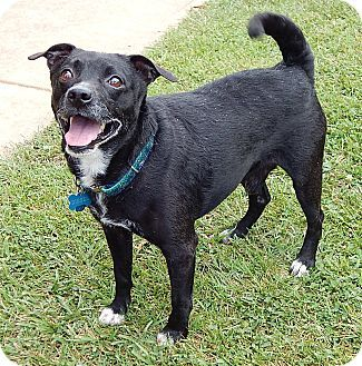 Twinsburg, OH - Terrier (Unknown Type, Small)/Basenji Mix. Meet Diesel (25 lb) GREAT Companion, a dog for adoption. http://www.adoptapet.com/pet/18552075-twinsburg-ohio-terrier-unknown-type-small-mix