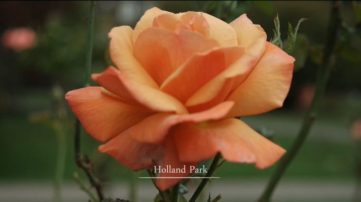 Holland Park and the Kyoto Garden - a video edit of this beautiful London garden.