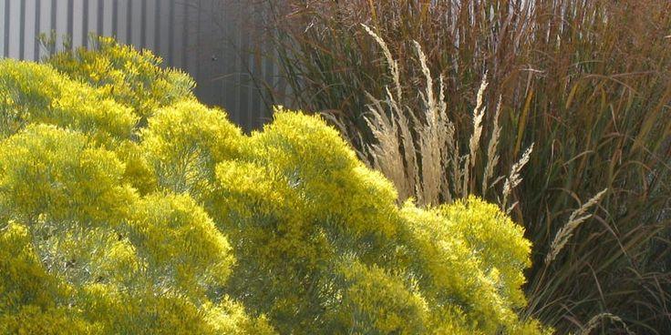 Ornamental grasses for fall planting shown yellow for Ornamental grass yellow