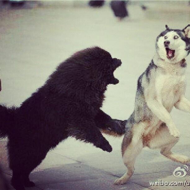 Siberian Bull Mastiff - Bing images