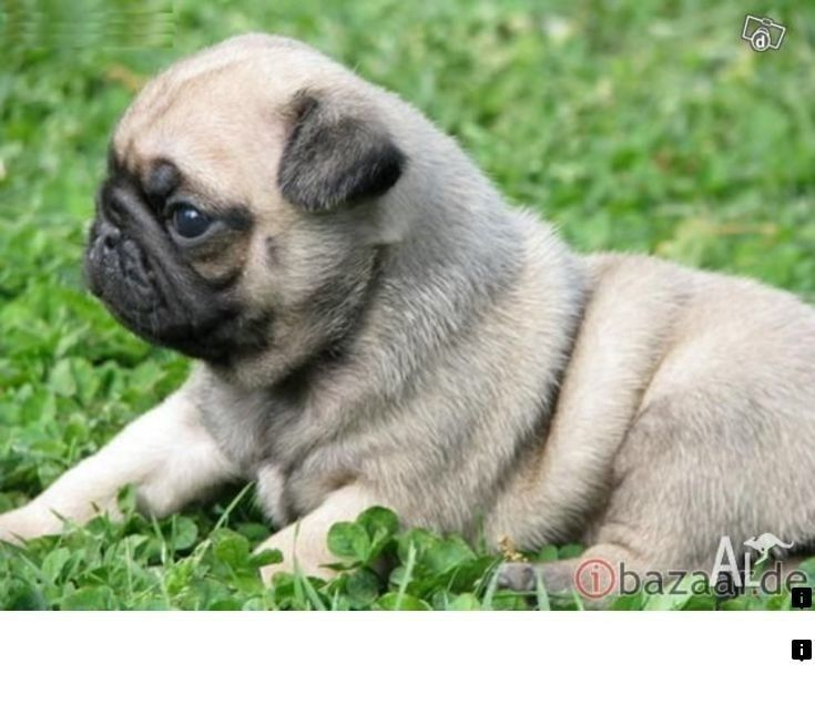 Just Click The Link For More Black Pugs For Sale Near Me Click