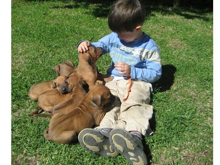Rhodesian ridgeback / puppies / kid