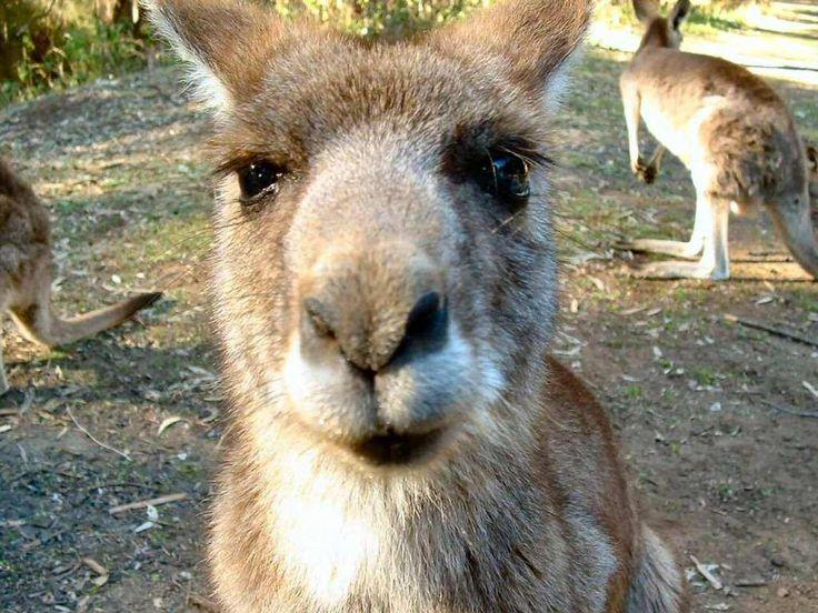 images of kangaroos | Free wallpapers Kangaroos