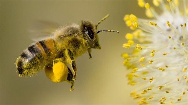 Fruktoz şekeri arının ömrünü kısaltıyor
