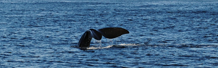 Whale - Houtbaai in South-Africa