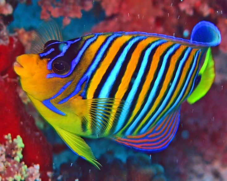 Beautiful Pictures of Wisconsin | Here you can clearly see the beautiful stripes of the Royal Angelfish ...