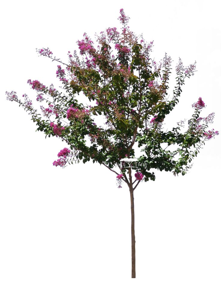 Lagerstroemia indica | Pride of India | Summer 2