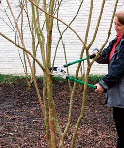 Pruning your crape myrtle (in early spring; never in the fall!)