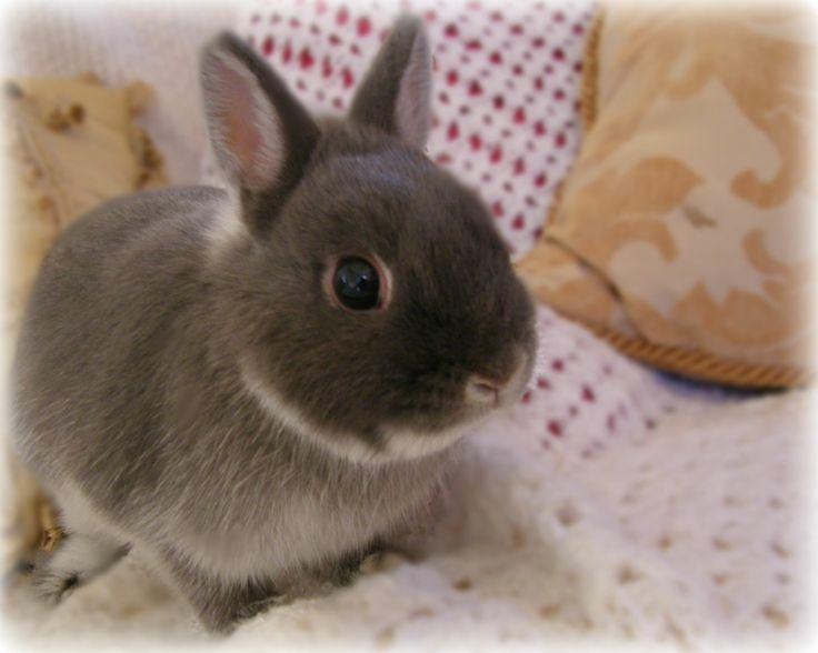 Oltre 1000 idee su Coniglio Olandese Nano su Pinterest ...