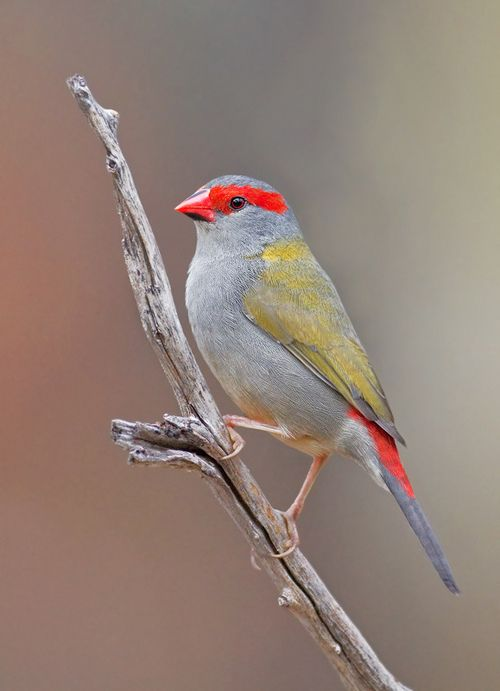 The Red-browed Finch - Neochmia temporalis, is an estrildid finch that inhabits the east coast of Australia. The Red-browed Finch is found in grassy areas interspersed with dense understory vegetation, along creek lines. Photo by Phil Cook.