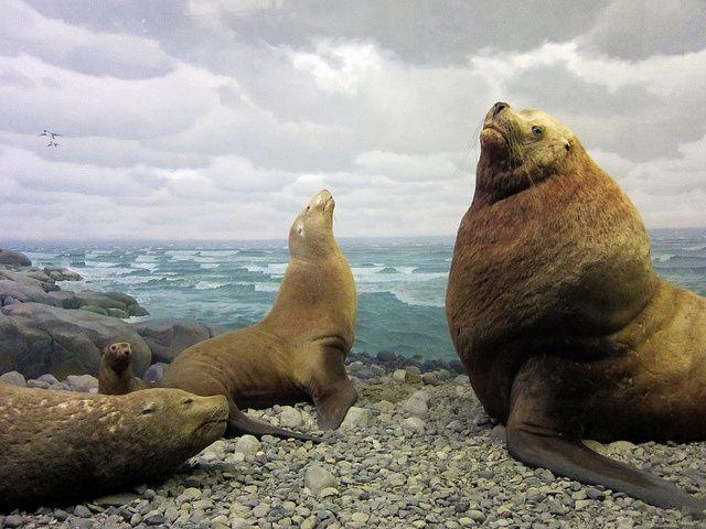 Seal Diorama