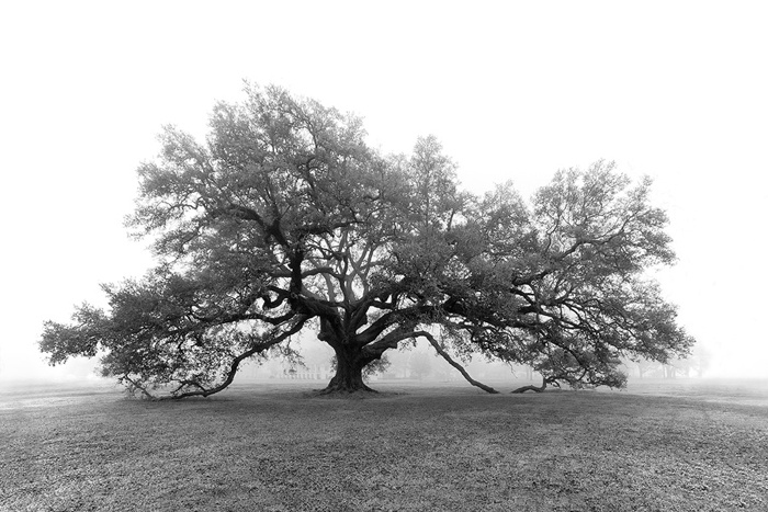 Live Oak - St. Joseph Plantation  (Vacherie, Louisiana)