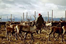 reindeer cattle