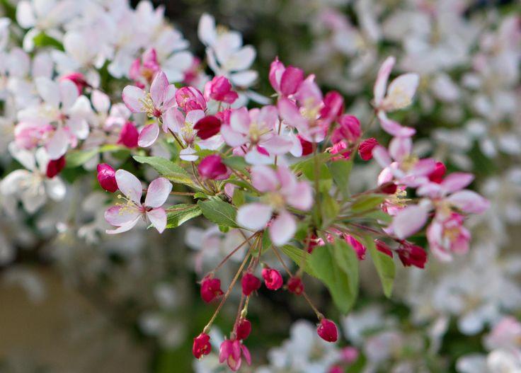 Queenstown spring blossom