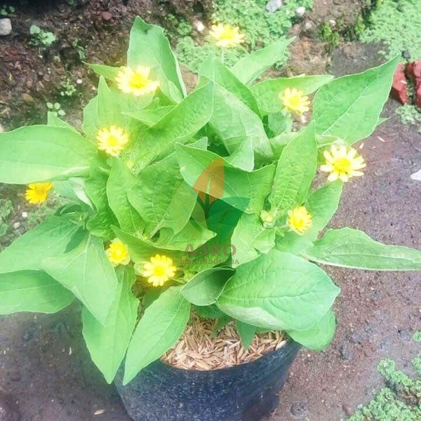 Bunga Kuning Kecil