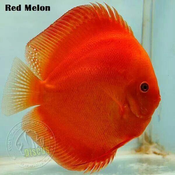 345 Best Discus Fish Images On Pinterest Discus Fish