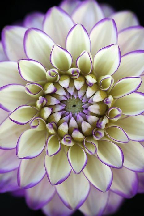 Purple dahlias http://www.shop.embiotechsolutions.co.uk/GrowBest-EM-Seaweed-Fertilizer-Rock-Dust-Worm-Casts-3kg-GrowBest3Kg.htm