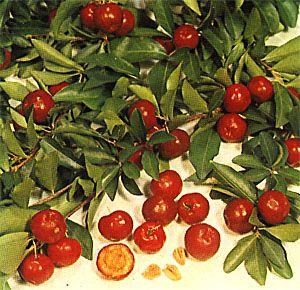 Information on Barbados Cherry Tree: Cherry Tree