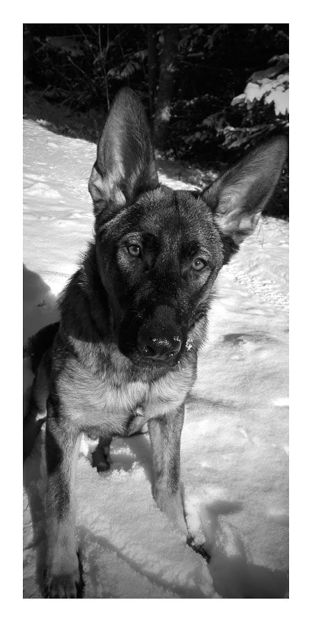 Ville our german shepard